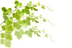 Las hojas del verde hacen el fondo del modelo. Foto de archivo