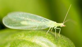 Las hojas del verde tomadas el lacewing vuelan, las imágenes del primer Fotos de archivo libres de regalías