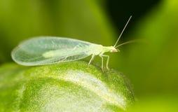 Las hojas del verde tomadas el lacewing vuelan, las imágenes del primer Fotografía de archivo