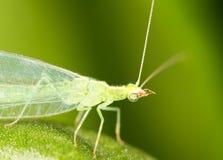 Las hojas del verde tomadas el lacewing vuelan, las imágenes del primer Imagen de archivo