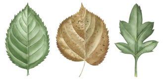 Las hojas dibujadas mano de la acuarela fijaron aislado en blanco Fije los elementos de las plantas Verde Estilo de la acuarela imágenes de archivo libres de regalías