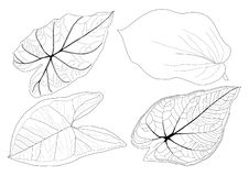 Las hojas esqueléticas alinearon negro del diseño y del modelo de la hoja en el fondo blanco stock de ilustración