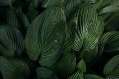 Las hojas grandes de la planta floreciente Fotografía de archivo