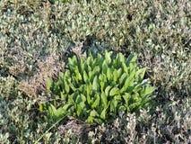Las hojas jovenes de la lila varan en un saladar en primavera Imagen de archivo libre de regalías
