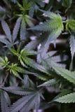 Las hojas jovenes de la marijuana se cierran juntas Fotos de archivo