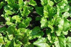 Las hojas jovenes de la remolacha se plantan en filas fotos de archivo