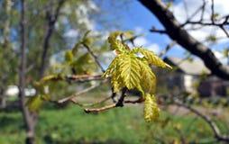 Las hojas jovenes del roble Fotografía de archivo libre de regalías