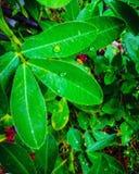 Las hojas mantienen gotitas Imagen de archivo