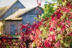 Las hojas ornamentales de la uva son rojas brillante fotos de archivo