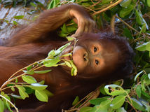 Las hojas que cuidan del orangután del bebé en boca Fotografía de archivo