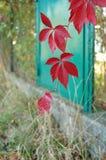Las hojas rojas de la hiedra en otoño Imagenes de archivo