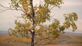 Las hojas rojo-inclinadas de oro agitan en el viento en un bosque otoñal al lado de un valle metrajes