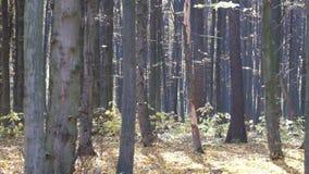 Las hojas secas caen de árboles en el bosque almacen de video
