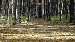 Las hojas secas caen de árboles en el bosque en un día caliente del otoño almacen de video