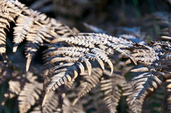 Las hojas secas del helecho se cubren con escarcha foto de archivo libre de regalías
