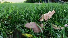 Las hojas secas se acuestan en hierba verde en día ventoso almacen de video
