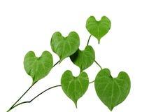 Las hojas son en forma de corazón Imagen de archivo libre de regalías