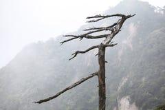 Las hojas sopladas caen del árbol de pino, en la montaña rocosa Imagen de archivo