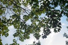 Las hojas verdes de árboles ven de debajo contra el cielo azul del verano fotos de archivo