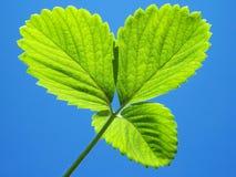 Las hojas verdes de la fresa se cierran para arriba Fotos de archivo libres de regalías