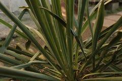Las hojas verdes de la planta de la yuca crecen en una cama en la yarda fotografía de archivo