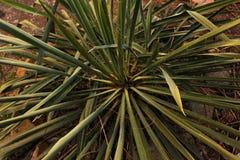 Las hojas verdes de la planta de la yuca crecen en una cama en la yarda imagen de archivo libre de regalías