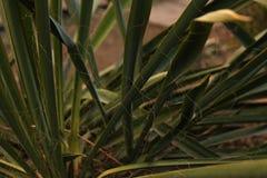 Las hojas verdes de la planta de la yuca crecen en una cama en la yarda fotos de archivo