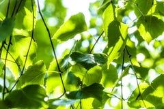 Las hojas verdes de un abedul Imagen de archivo libre de regalías