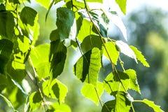Las hojas verdes de un abedul Fotos de archivo