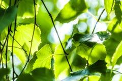 Las hojas verdes de un abedul Fotografía de archivo libre de regalías