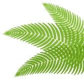 Las hojas verdes de un helecho. Imagen de archivo libre de regalías