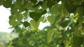 Las hojas verdes del árbol sacuden el viento metrajes