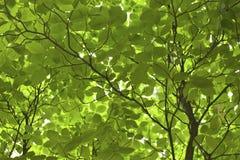 Las hojas verdes del árbol se cierran para arriba Fotos de archivo