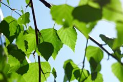 Las hojas verdes del abedul Imagen de archivo libre de regalías
