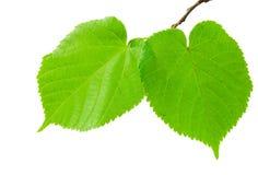 Las hojas verdes del tilo Fotos de archivo