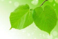 Las hojas verdes del tilo Fotografía de archivo libre de regalías