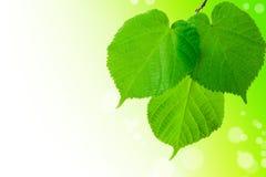 Las hojas verdes del tilo Fotos de archivo libres de regalías