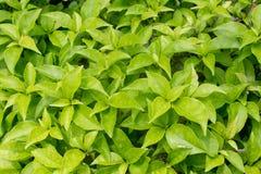 Las hojas verdes frescas del bougainvillea. Fotos de archivo