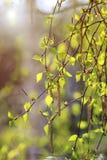 Las hojas verdes jovenes en las ramas de un árbol de abedul con amentos chispean foto de archivo