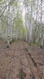 Las hojas viejas pavimentaron el camino a través de bosque de los árboles de abedul Imágenes de archivo libres de regalías