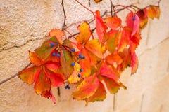 Las hojas y el Parthenocissus de las bayas en la caída Imagen de archivo