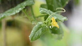 Las hojas y las flores amarillas del mel?n con los descensos del agua que balancean en el viento y la lluvia almacen de metraje de vídeo