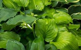 Las hojas y las flores del Hosta Fotos de archivo