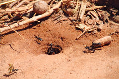 Las hormigas cerca cavaran Foto de archivo
