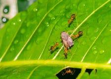 Las hormigas cogen el insecto Fotos de archivo libres de regalías