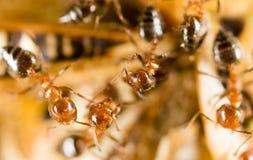 Las hormigas comen a un herrero en naturaleza Fotografía de archivo