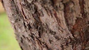 Las hormigas corren encima de la corteza de árbol metrajes