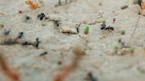 Las hormigas de la colonia llevan fuentes en un agujero en el primer de tierra almacen de video
