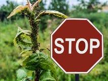 Las hormigas de la parada de la muestra crían áfidos en el manzano fotos de archivo libres de regalías