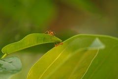 Las hormigas de trabajo fotografía de archivo